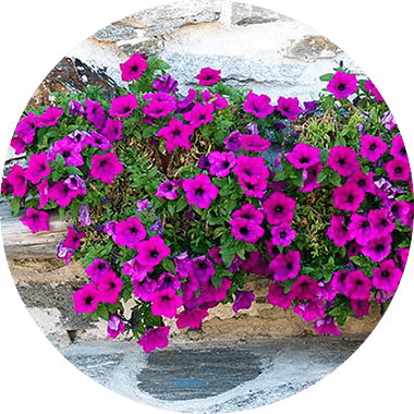 Purple petunia flowers
