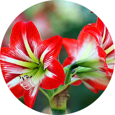 Red-white lily flowers