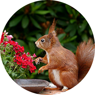 Squirrel standing next to flowers