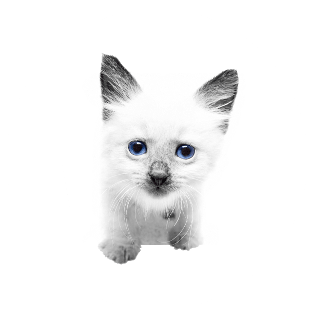 White kitten with blue eyes